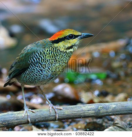 Blue Pitta Bird