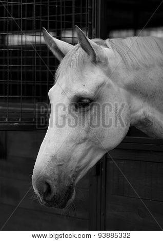 Portrait White Horse 1