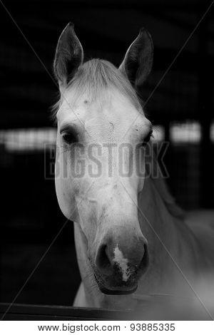 Portrait White Horse 2