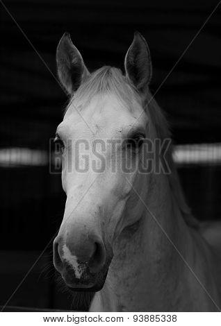Portrait White Horse 3