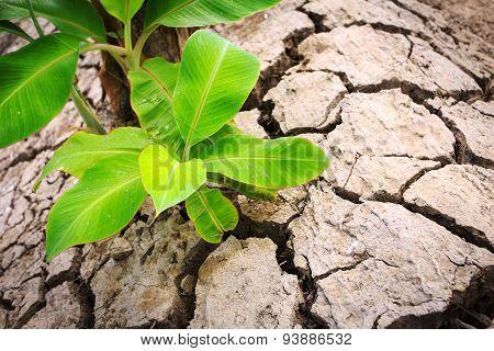Green Young Banana Tree On Crack Soil