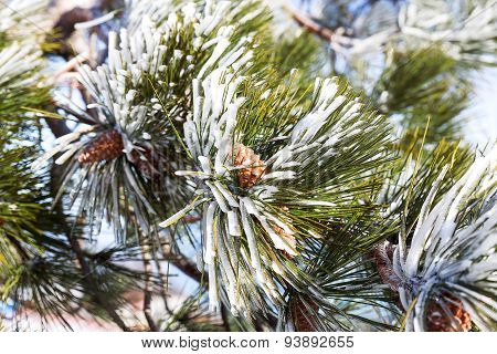 Snow And Iced Pine Trees On Sunny Winter Day. Frosted Pine Needles And Cones Sparkle On The Sun.