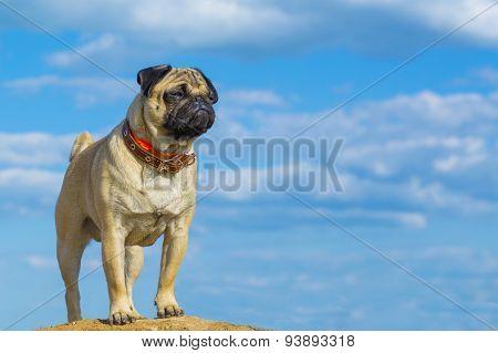 Cute pug dog on sky background