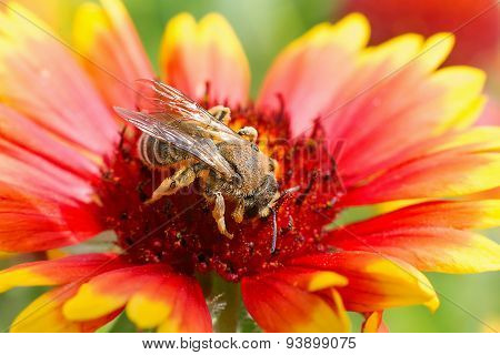 Big Bee On The Red Flower