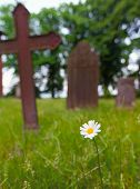 stock photo of tombstone  - Marguerite daisy flower in front of tombstones on graveyard - JPG