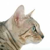 stock photo of bengal cat  - bengal cat silver in front of white background - JPG