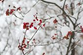 picture of rowan berry  - Clusters of red rowan berry under the snow, seasonal holiday natural background