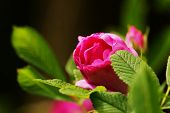 foto of climbing roses  - Beautiful pink roses in a botanical garden - JPG