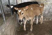 picture of veal  - two youngs dairy veal in a cattle - JPG