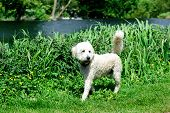 picture of poodle  - Australian Labradoodle walking in the park - JPG