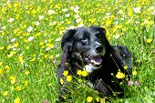 stock photo of buttercup  - Happy dog lying on a meadow with buttercups - JPG