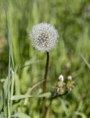 picture of dandelion seed  - Dandelion with Seeds and grass in the background - JPG