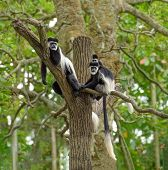 picture of rainforest  - Group of black and white colobus monkeys sitting on a tree in rainforest - JPG