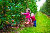stock photo of apple orchard  - Child picking apples on a farm in autumn - JPG