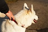 stock photo of husky  - Man holds his Siberian Husky during a walk into the park - JPG