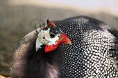 image of guinea fowl  - Hearing the sound - JPG