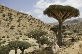 stock photo of unique landscape  - Dragon Blood Tree - JPG
