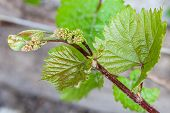 stock photo of cluster  - The vine sprout with young grape cluster - JPG