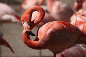 foto of flamingo  - Caribbean flamingo  - JPG