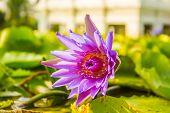 pic of marshes  - Beautiful violet lotus is blooming in marsh - JPG