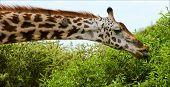 Постер, плакат: Жираф ест