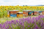 stock photo of bee-hive  - Bee hives on lavender fields near Valensole Provence - JPG