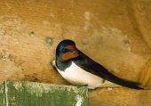 picture of swallow  - Adult Barn Swallow inside bird hide during breeding season.