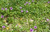 foto of glory  - Purple Morning Glory or Ipomea growing naturally in Sri Lanka Asia - JPG