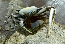 picture of terrestrial animal  - Blue Land Crab  - JPG