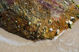 picture of gneiss  - Seagrass and seashells on brown gneiss boulder on Sri Lanka beach Asia - JPG