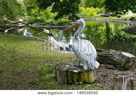 Pelican and storks in the Kaliningrad Zoo. Russia.
