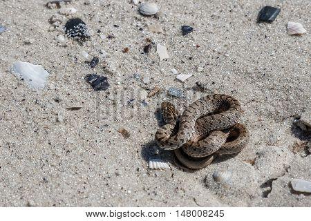 The snake basking on the sand Kinburn Spit Ukraine.