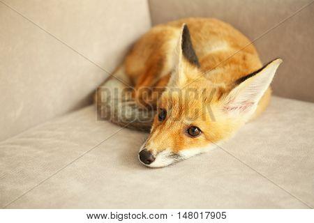 Beautiful fox cub lying on sofa in room