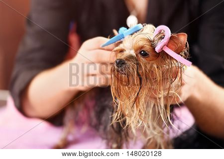 Yorkshire terrier with hair curlers in salon