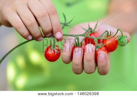 Fresh Cherry Tomatoes (branch Of Cherry Tomatoes) In Children's Hands