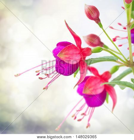 Fuchsia flower and bud over gray bokeh background in garden
