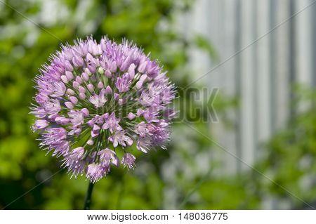 Single onion flower close-up. Seeds of onion.