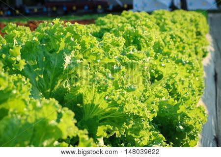 Lactuca sativa lettuce grow in field plant with sunlight.