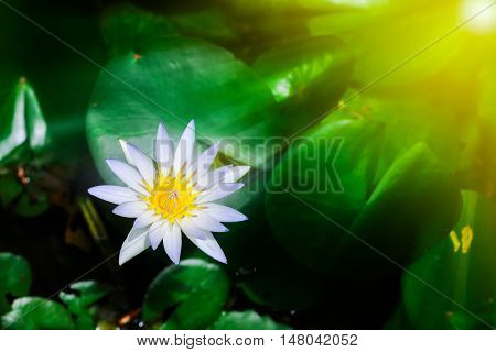 Beautiful white lotus blooming in pond with sunlight.