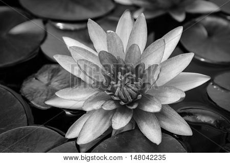 Beautiful pink lotus blooming in pond black and white.