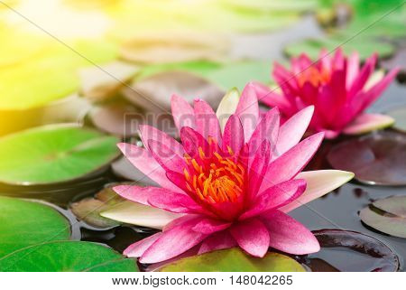 Beautiful pink lotus blooming in pond with sunlight.