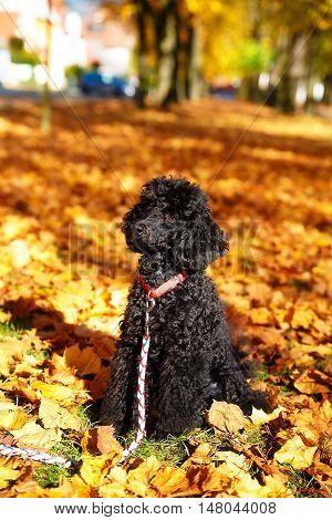 Black poodle in autumn park, beautiful autumn leaves