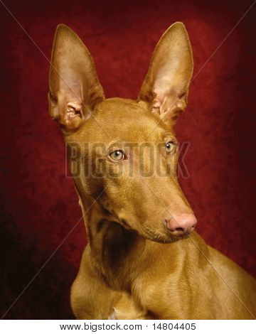 A portrait of a male Pharaoh Hound