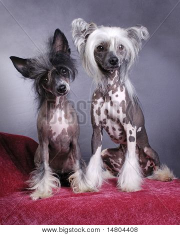 A portrait of a pair of Chinese Crested Dogs