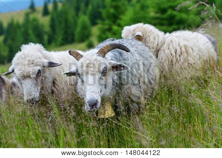 herd of sheeps close up