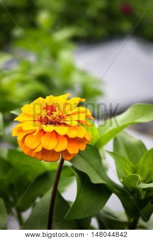 Close up yellow zinnia blooming in field plant.