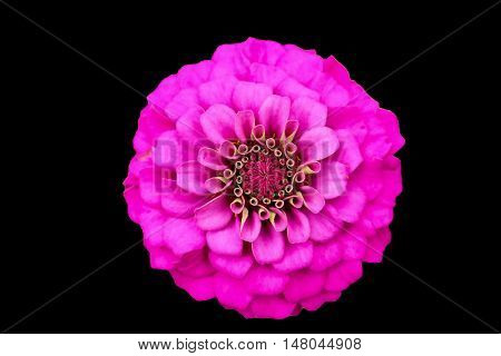 Pink zinnia close up blooming on isolated black with clipping path