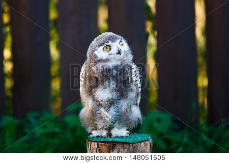 Portrait of snowy owl chick on a background of wooden fence