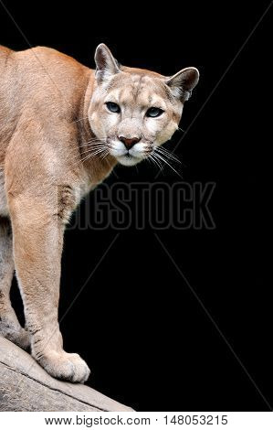 Close up puma portrait on dark background