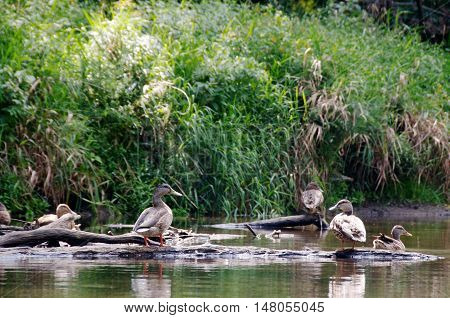 Group of female mallard ducks sunning themselves on a sandbar along a riverbank, shot from level perspective in natural habitat with tall green grasses in background.